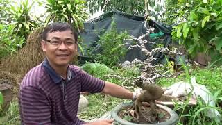 Download Quấn dây và tạo dáng cho cây mai bonsai/Winding and shaping bonsai trees Video