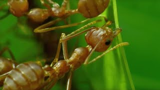 Download How Ants Are Used For Agriculture in Thailand   BBC Earth Video