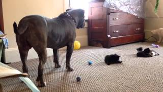 Download Kitten sees a 100 lb pitbull for the first time, Manny Der APBT Video