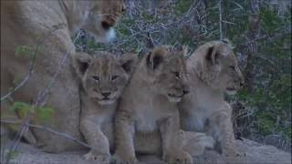 Download Safari Live : Three new Nkuhuma Lion Cubs as seen on morning drive July 06, 2016 Video