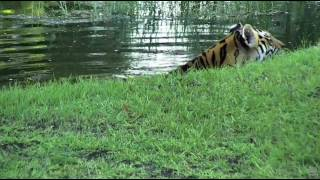 Download Jasmine cooling down in the pond before breakfast Video