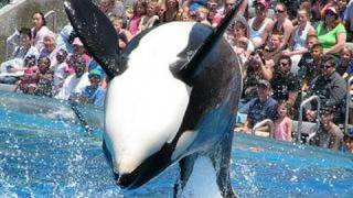Download SeaWorld's old ″Shamu″ show (with trainers in the water!) Video