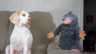 Download Platypus Thief Niffler vs Funny Dogs Maymo, Penny, & Potpie Video