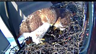 Download Male Hawk Stares At Camera During ″Nestorations″ – Feb. 13, 2018 Video
