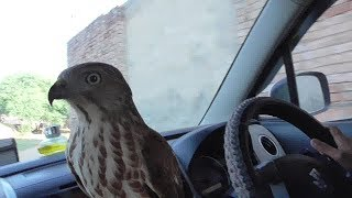 Download outdoor hunting with sparrowhawk and shikra || falcons, hawks, eagles || wildlife today Video