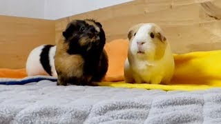 Download Vlog: Changing to Fleece Liner Bedding for the Guinea Pigs cage?! Video