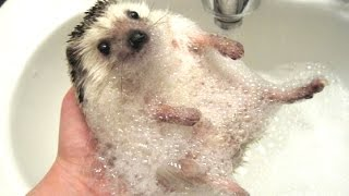 Download Cute And Funny Hedgehog Videos Compilation 2014 [NEW] Video