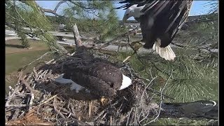 Download SWFL Eagles ~ M15 Brings In Opossum Tail Snack! 😃 Harriet Swallows The Tail Whole! Multi Cam Views Video