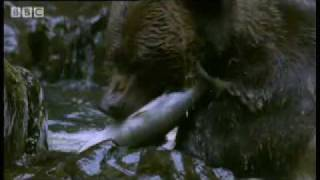 Download Cute Grizzly Bear cubs catching fish & swimming - BBC Animals Video