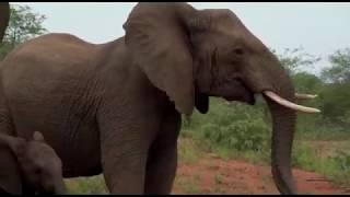 Download Terrifying Elephant Stampede / Charge in Kruger National Park Video