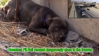 Download Hope For Paws: Homeless Pit Bull rescued dangerously close to the freeway. Video
