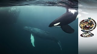 Download Orcas Co-Exist With Norway's Arctic Fishermen Video