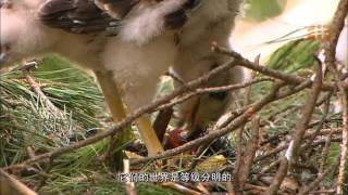 Download Goshawk, The Soul Of The Wind HD Video