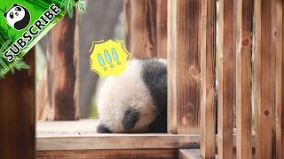 Download 【Panda Theme】I Am Cute But Ferocious | iPanda Video