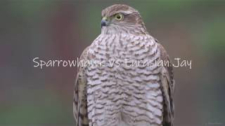 Download Sparrowhawk catches Eurasian Jay. 4k Slowmotion with GH5 Video