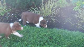Download Border Collie Puppies For Sale Elmer And Linda Esh Video