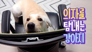 Download 의자가 좋은 강아지 🐾 제발 그만좀 올라가ㅠㅠ Video