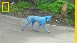 Download Blue Dogs Spotted in India—What's Causing It? | National Geographic Video