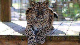 Download Species Spotlight: Amur Leopard Video