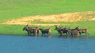 Download Wild Dog Hunting Deer Captured On Cam At Thekkady, Kerala Video
