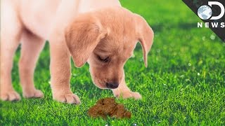 Download Why Do Animals Eat Their Own Poop? Video