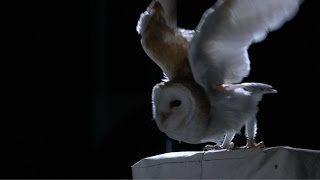 Download The silent flight of an owl - Natural World: Super Powered Owls Preview - BBC Two Video