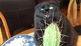 Download Funny BLACK cat video compilation - It's HARD to Hold your LAUGH Video