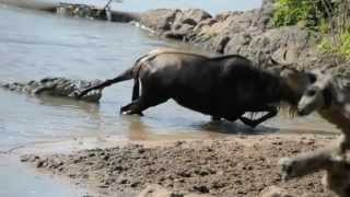 Download Noble Wildebeest vs. Massive Crocodile Video