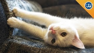 Download How to Stop Your Cats From Scratching Furniture Video