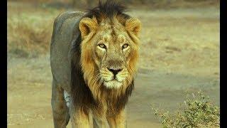 Download गिर जंगल का सबसे जांबाज शेर राजू | The bravest Lion of Gir Forest Rajoo Video