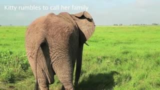 Download Amboseli Zou Double rescue of a newborn calf in Amboseli Video