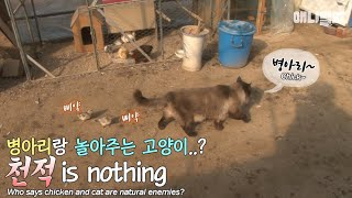 Download Who says chicken and cat are natural enemies? Video