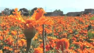 Download La flor de muerto da vida a su familia Video