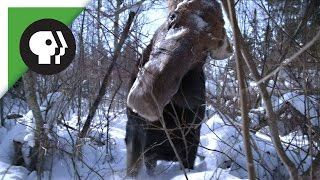 Download Brain Parasite Turns Moose Into Zombie Video