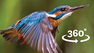 Download Flight of the Kingfisher VR / 360 Bird Flight Experience Wales Video
