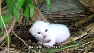 Download 子猫の鳴き声がかわいい 野良猫親子の引っ越し Video