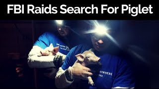 Download FBI Raids Animal Shelters Searching for Rescued Piglets Video