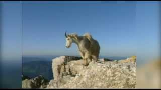 Download WILD About Mountain Goats Video