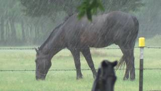 Download Not All Horses Do The Same Thing All The Time - Buddy Hides From Rain Mr. T Embraces The Rain Video