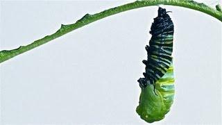Download Caterpillar to Chrysalis Metamorphosis Timelapse Video