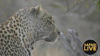 Download safariLIVE - Sunrise Safari - August 13, 2018 Video