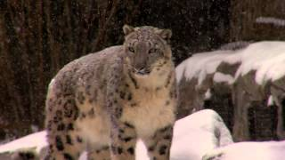Download Polar Bears and Snow Leopards Play in the Snow - Cincinnati Zoo Video