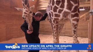 Download April the Giraffe sees Dr. Tim Video