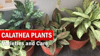 Download Calathea Plants Varieties and Identification | How to Grow and Care Calathea in English with CC Video
