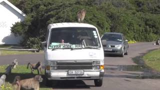 Download Attack of the Baboons Video