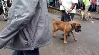 Download Kampfhunde Mai/2013 Arusha/Tansania Video