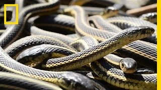 Download If You're Scared of Snakes, Don't Watch This   National Geographic Video