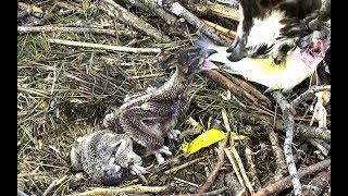 Download Breakfast (with bonking!) at Chesapeake Ospreys. 09.15 / 04 June 2018 Video