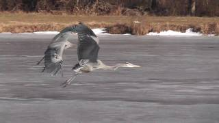 Download Great Blue Herons fight - Sea Gull got her fish back Video