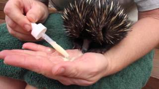 Download Meet Newman the Echidna Puggle at the Taronga Zoo Video